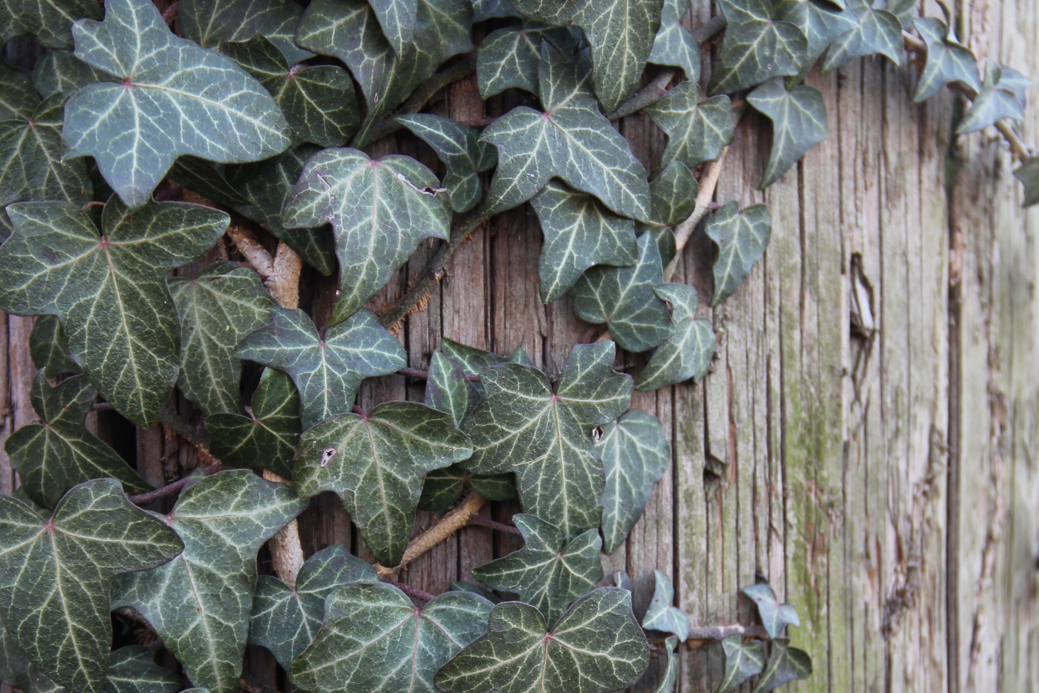 English Ivy Indoor Plant