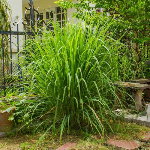 How to Grow and Care for Lemongrass