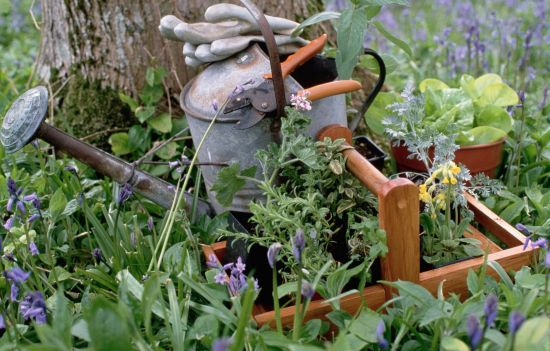 watering can in an herb garden 527125224 5b2494a143a1030037fecca9