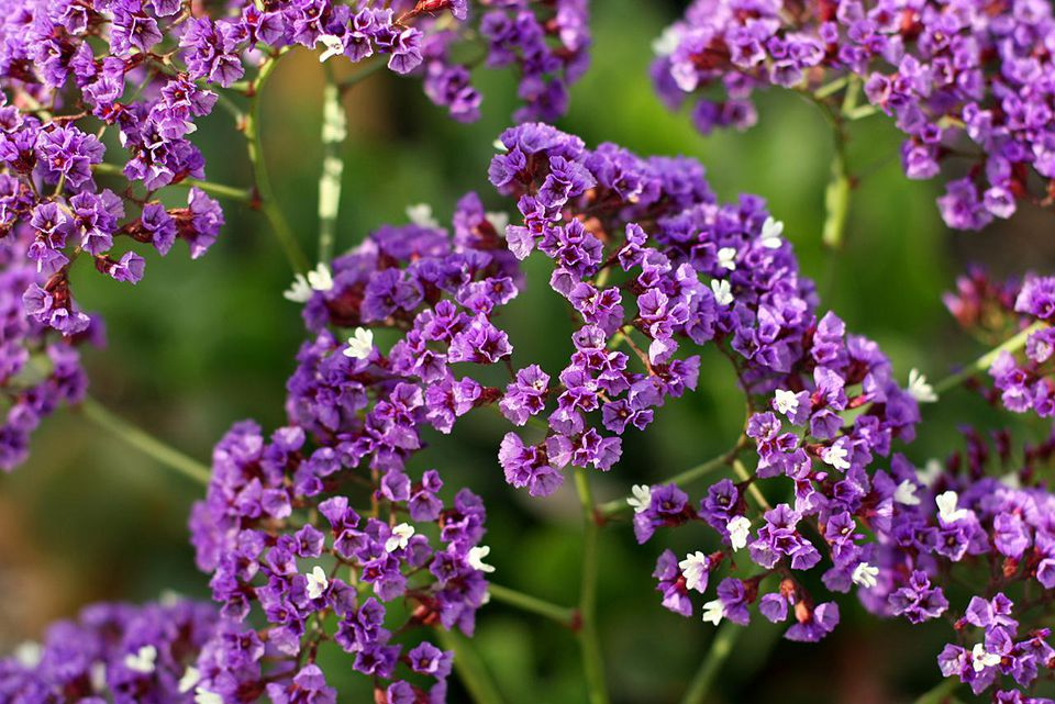 Growing Statice Flowers for Crafts and Bouquets Lovely purple statice