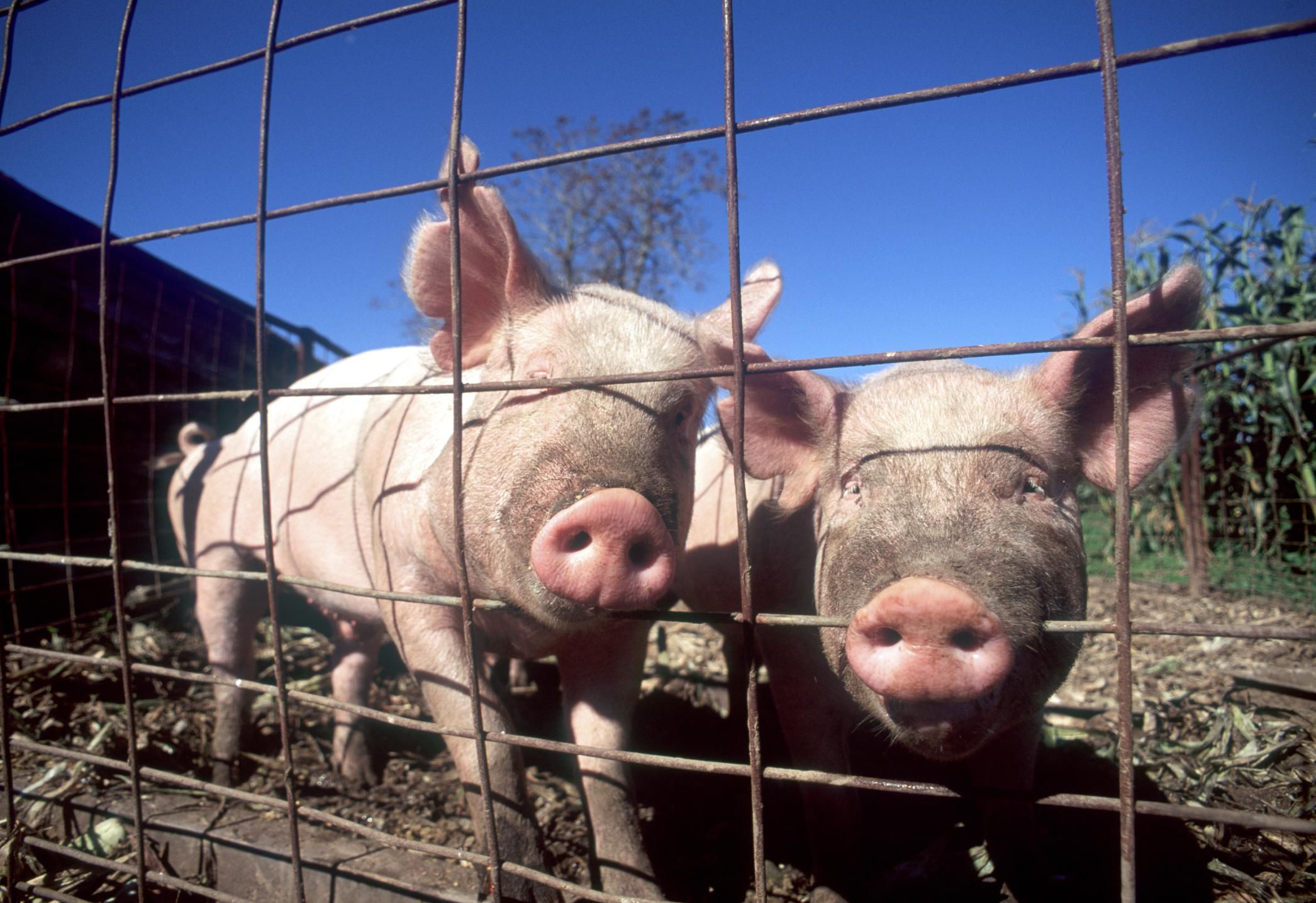 How To House And Fence Pigs