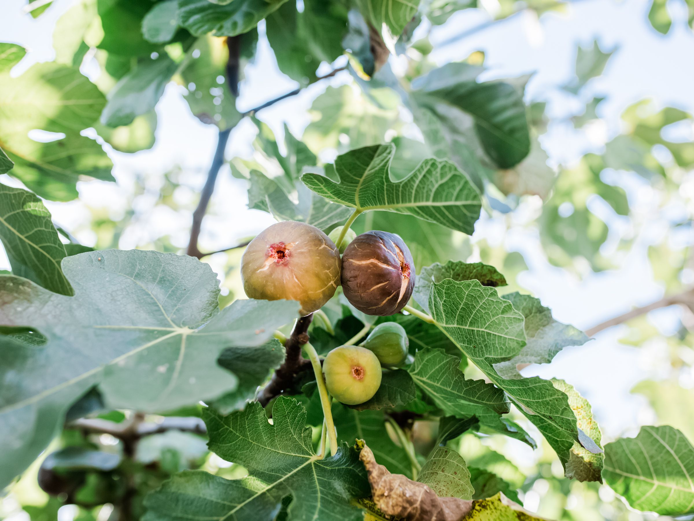 how to prune fig trees