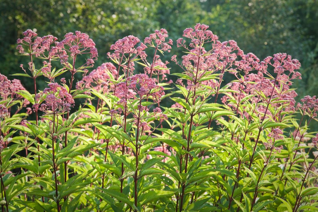 How to Grow and Care for Joe Pye Weed