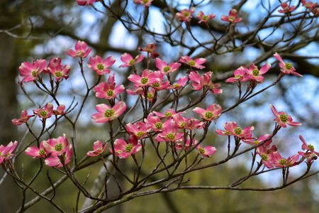 The Best Flowering Trees for Your Landscape Flowering dogwood tree with pink blooms
