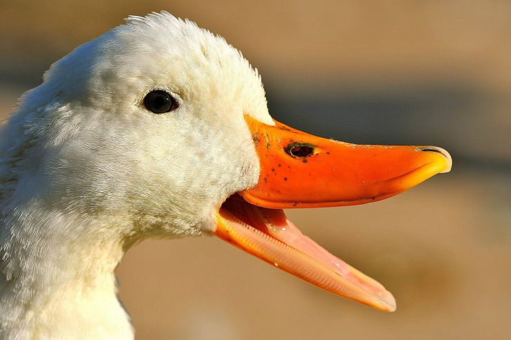 Image result for duck