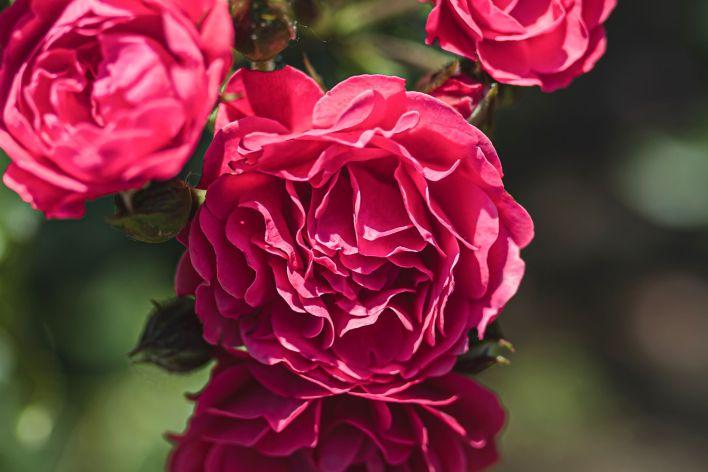 English Roses-Summer Flowers