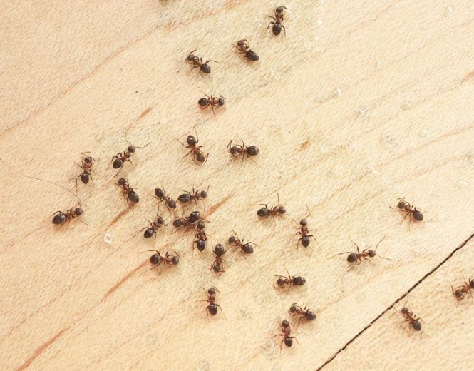 9 Simple Steps To Get Rid Of Ants And Keep Out Ant Control