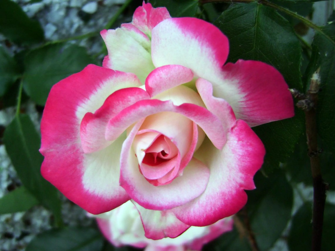 Cherry parfait rose