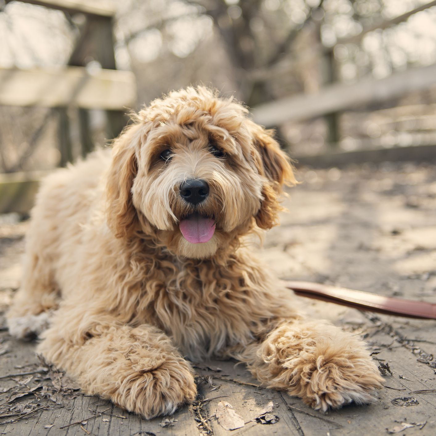 13 Curly Haired Dog Breeds