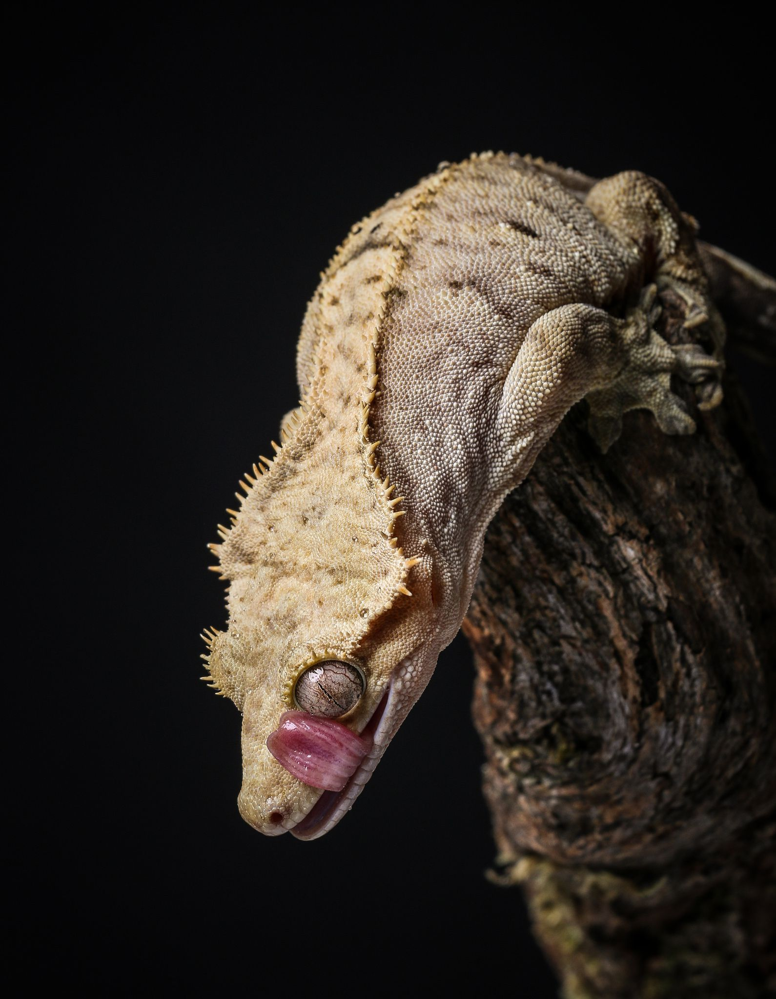 a guide to caring for crested geckos as