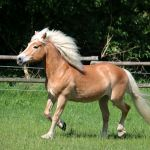 Haflinger Horse Breed Profile