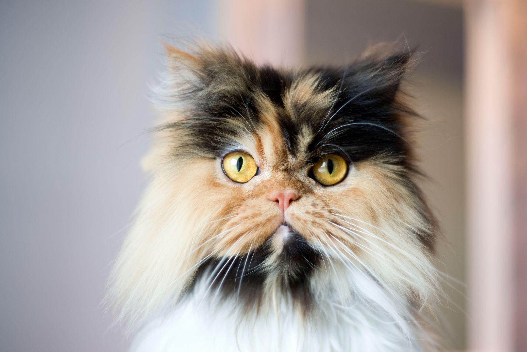 Calico Cats Details And Breeds