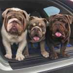 10 Cute Bulldogs To Bring A Smile On Your Face
