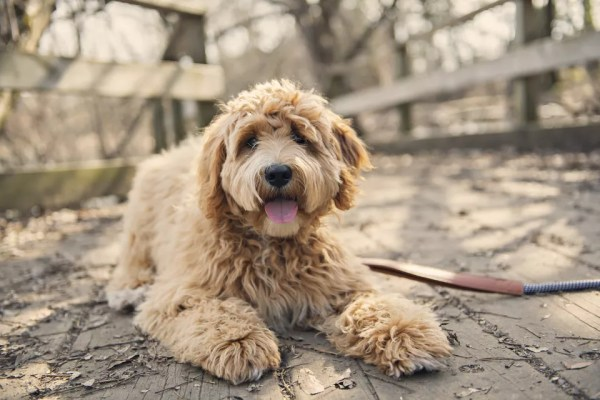 Curly haired dog outside