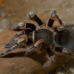 Keeping And Caring For Costa Rican Zebra Tarantulas As Pets