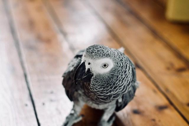 African Grey Parrot walking on a wood floor