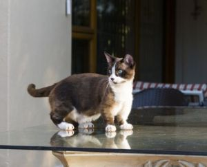 「munchkin cat history」の画像検索結果
