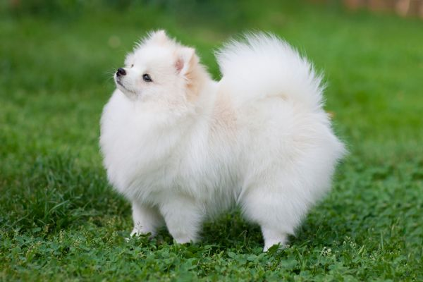 Pomeranian - Full Profile, History, and Care