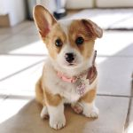 Photos And Fun Facts About Adorable Baby Corgis