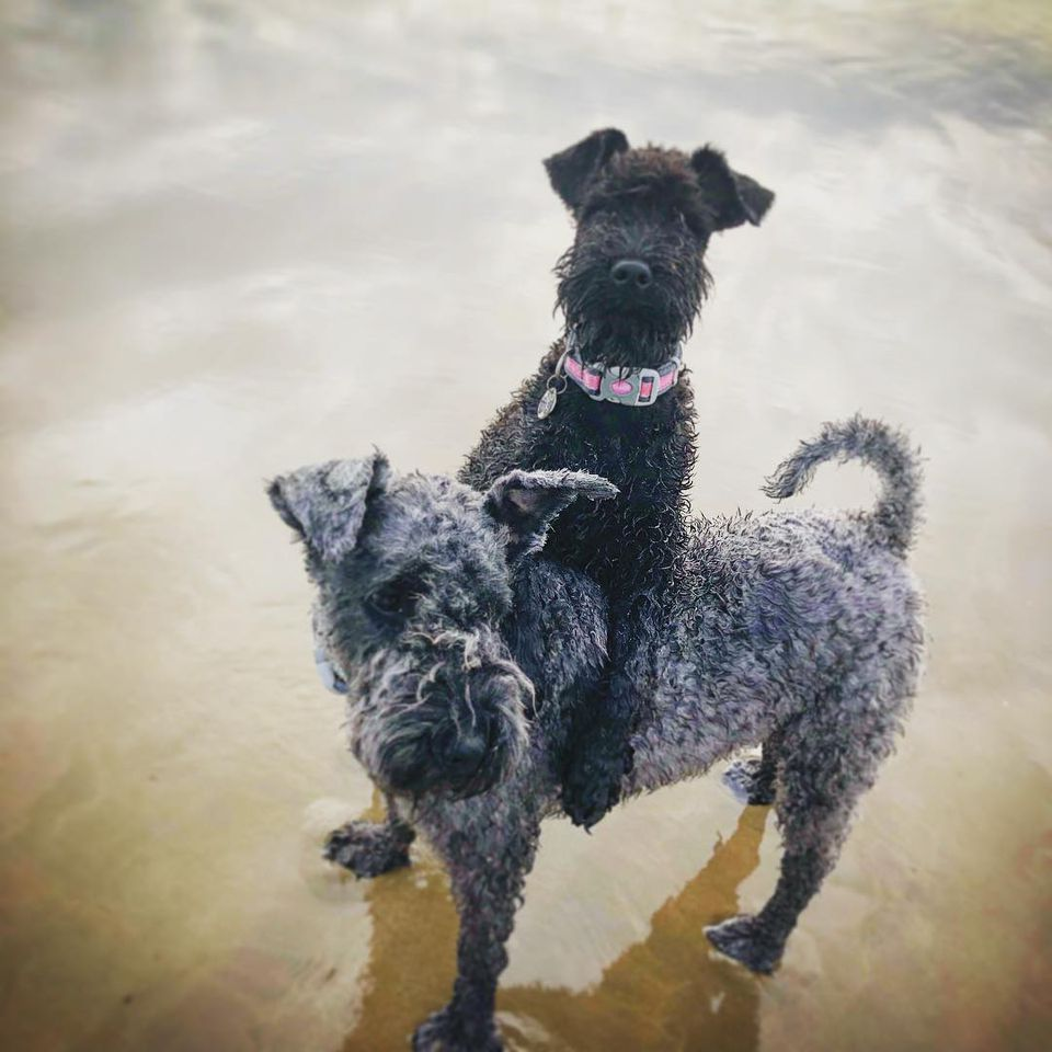 Two dogs playing in water.