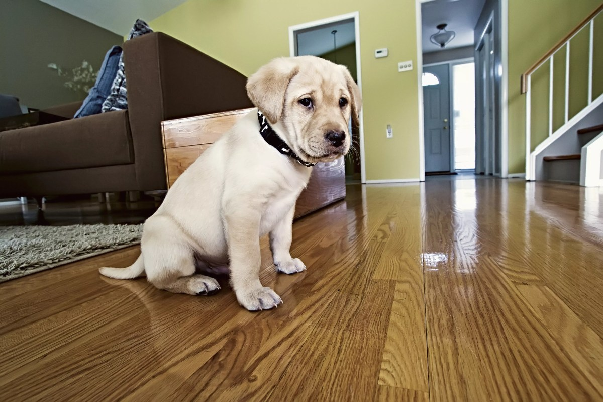 Yellow Labrador Retriever puppy in his new home
