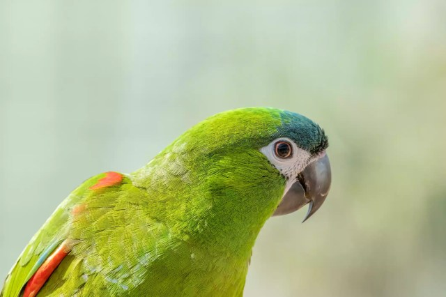 Close up photo of a Hahn's Macaw