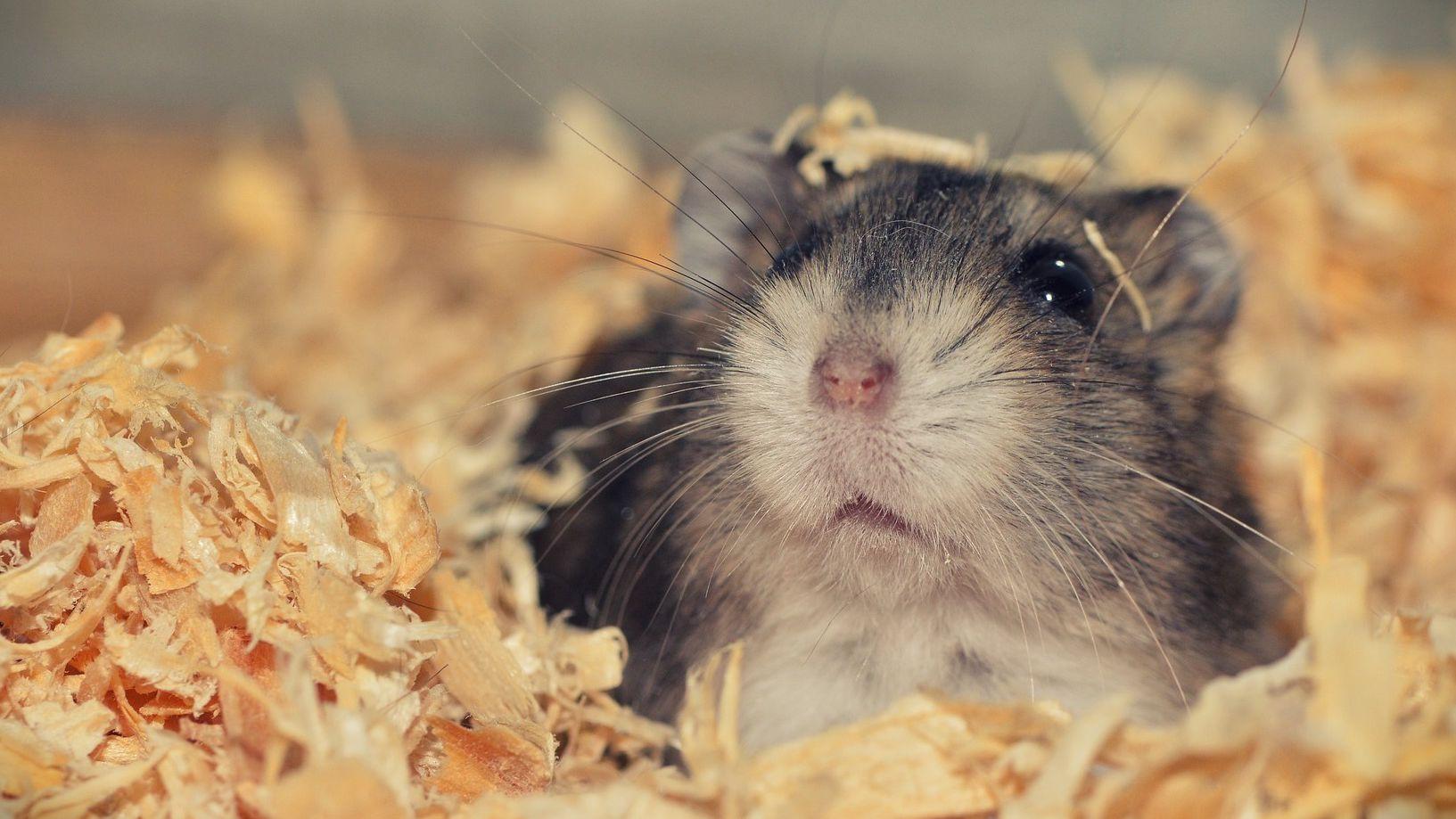 Hamster Falls From Cage Tiktok Meme Youtube