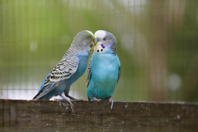 Two budgies on a piece of wood