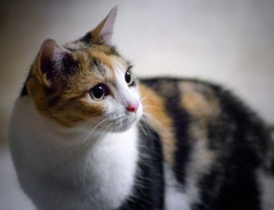 8 Fun Facts About Tuxedo Cats Fascinating Facts  And Cute Pictures   of Calico Cats