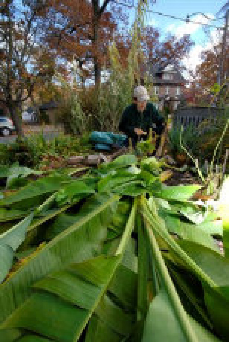 Banana Trees Can Survive Outside In The Canadian Winter Toronto Star