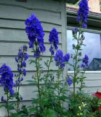 Beautiful but deadly monkshood: The Real Dirt | The Star