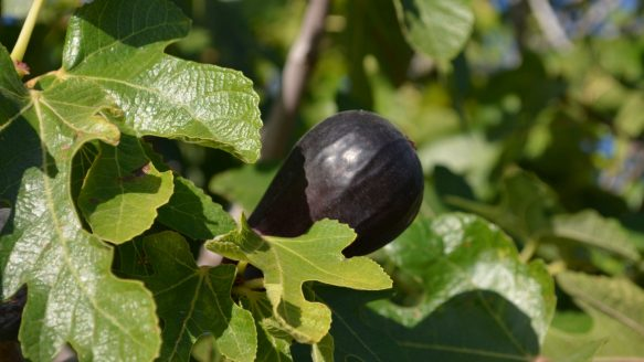 A black fig growing in California.
