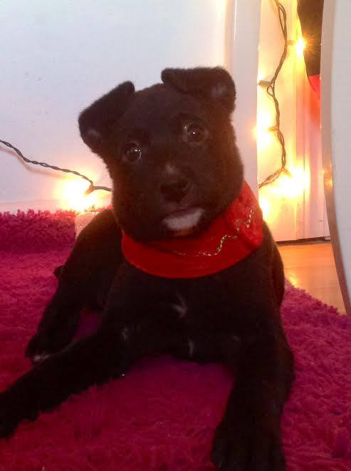 PLEASE SHARE! Gabe a 10 week old Rottie/Lab mix Looking for his Furever HOME!