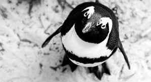 Pinguin, der in die Kamera schaut