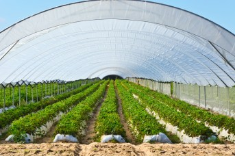 Our polytunnels