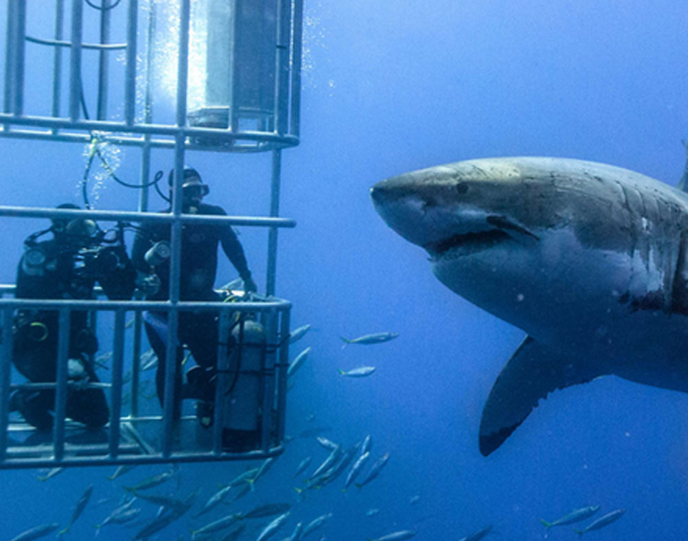 Great White Sharks Cambridge