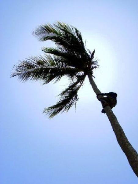climb palm tree