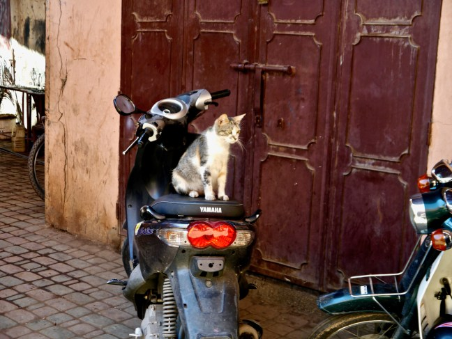 cats-feline-travel-marrakesh-morocco