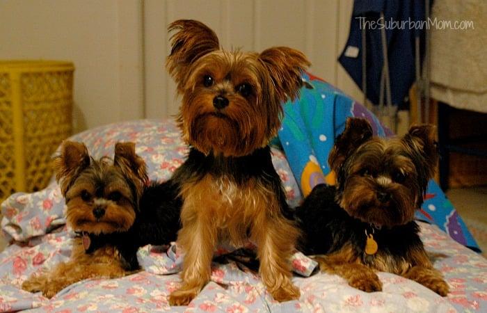 Three Yorkies