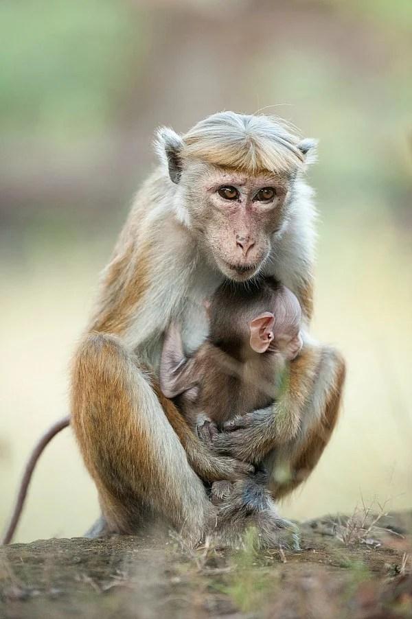 Monkey Kingdom Maya Kip