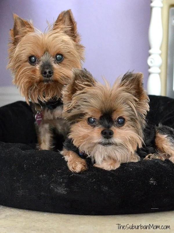 Toy Yorkie Dogs