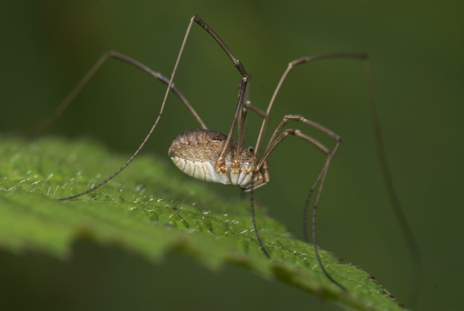 Harvestmen don't have a distinctive waist