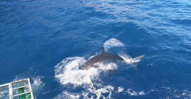 The shark lunges in for a large chunk of bait tied to a rope