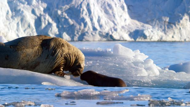 Sir David says: 'I think that a baby walrus trying to find a place, where the ice is melting and they no longer have a refuge on ice floes, is fairly affecting. I can't say I burst into tears but it's symbolic of what's happening to the oceans'