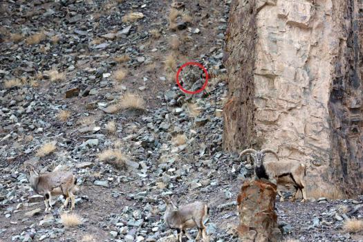 El leopardo era casi invisible entre las rocas y los arbustos