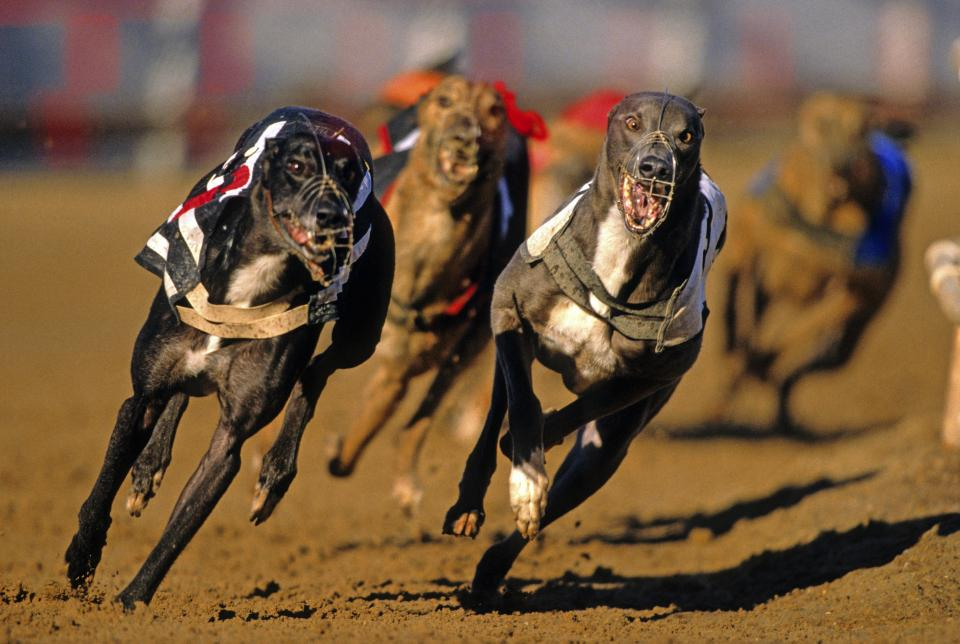 The shocking numbers of greyhounds being put down on retirement has been revealed