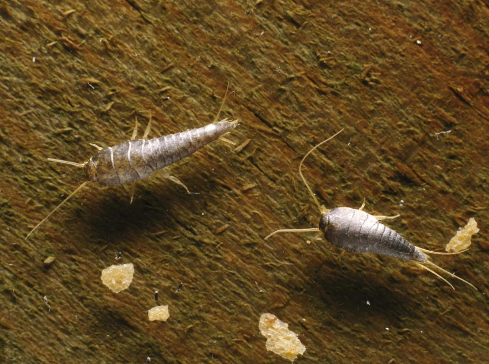 Silverfish are skin-eating bugs that are attracted to moisture