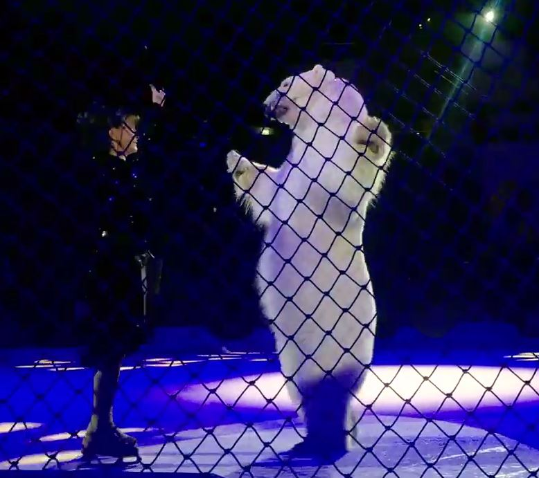 A muzzled polar bear ballroom dances with an entertainer while in Russia