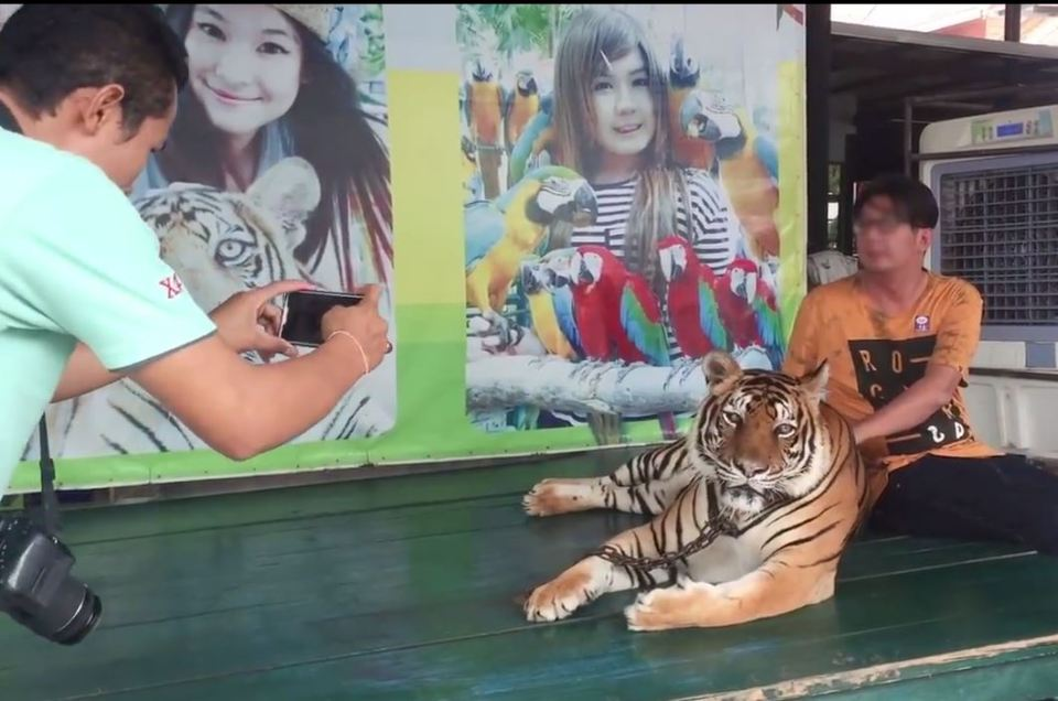 This tourist poses with a tiger chained to a table