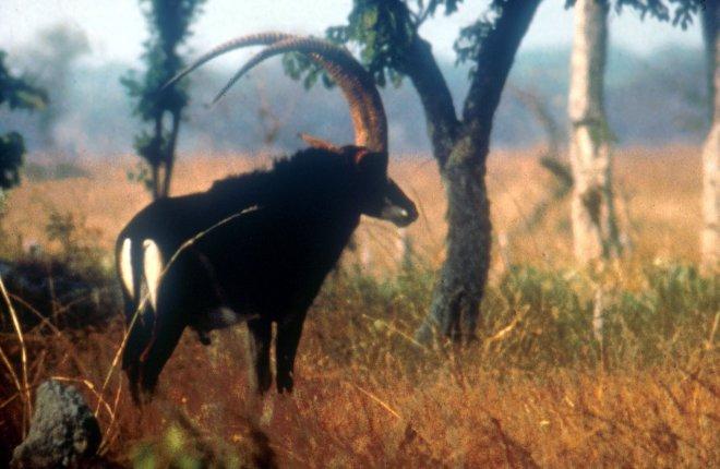 Mugabe also gorged on the endangered sable buffalo